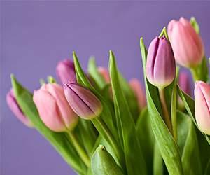 Tulpen bei Blume2000
